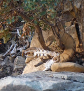 Rock Climbing Photo: Ram