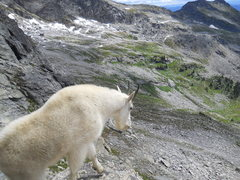 Rock Climbing Photo: Mtn Goat crowds the start of Gimli's South Ridge.