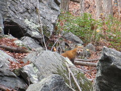 Rock Climbing Photo: I flushed this illusive CT fox-jackal from the cav...