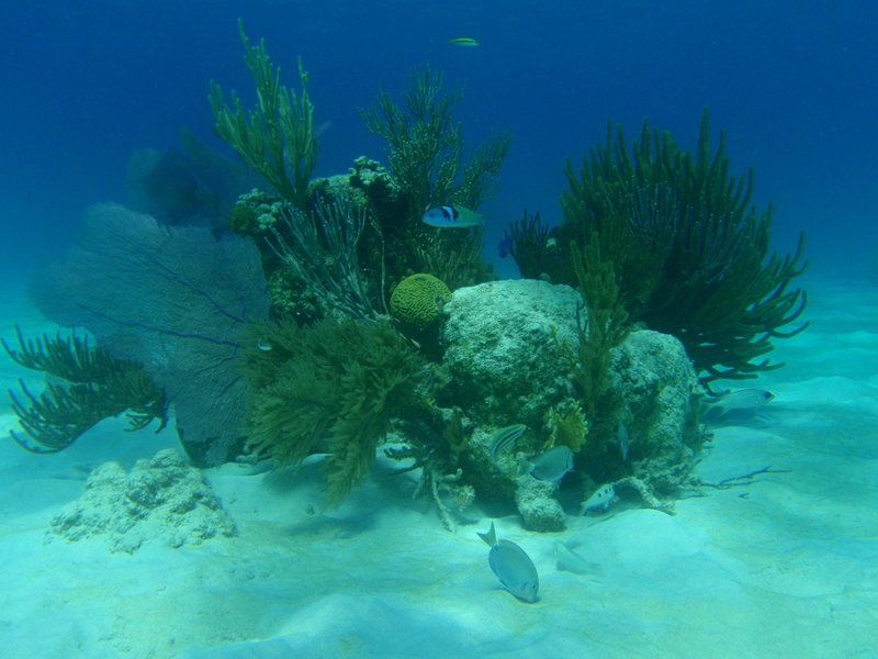 Coral head off Necker Is.