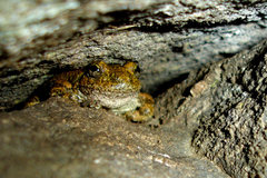 Rock Climbing Photo: This Foothill Yellow-Legged frog had taken up resi...
