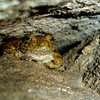 This Foothill Yellow-Legged frog had taken up residence in one of the cracks that comprises Many Happy Returns at San Ysidro.