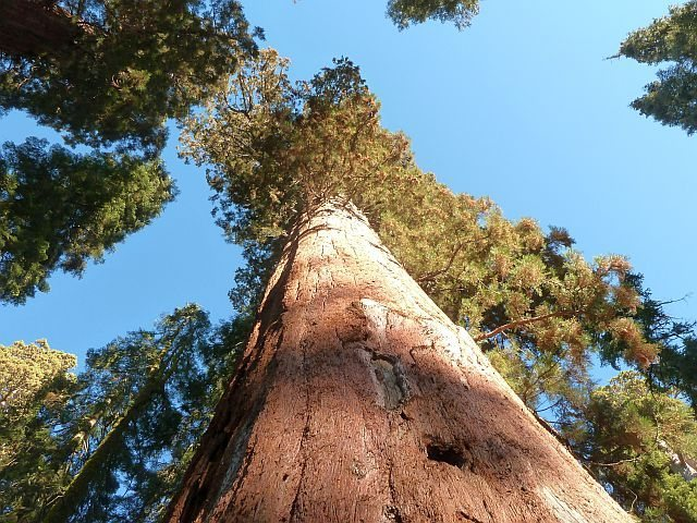 Giant Sequoias at the McKinley Grove, Courtright Reservoir
