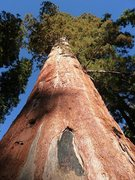 Rock Climbing Photo: Giant Sequoia at the McKinley Grove, Western Sierr...