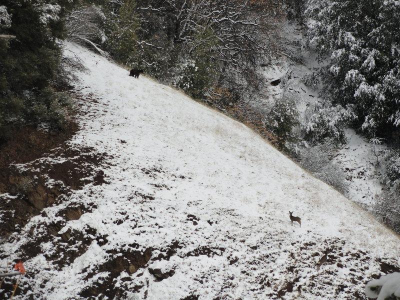 Bear vs Deer