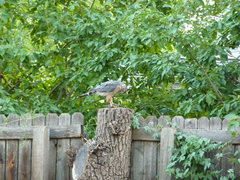 Rock Climbing Photo: Cooper's Hawk
