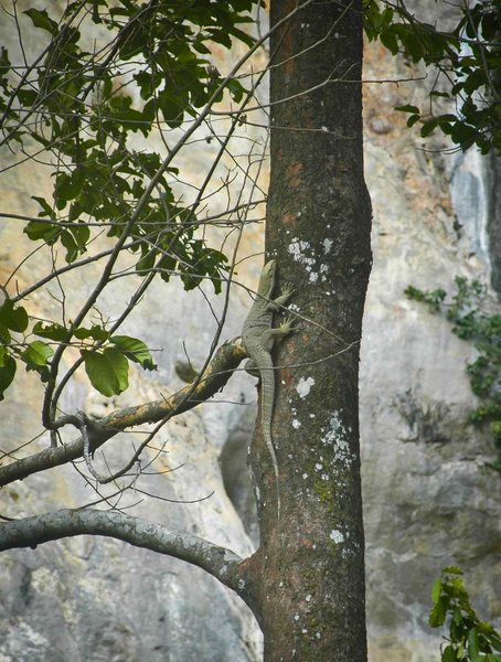 Rock Climbing Photo: water monitor