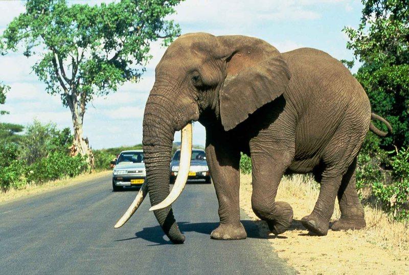 Bull Elephant, RSA