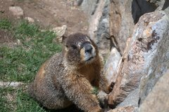 Rock Climbing Photo: Marmot in RMNP