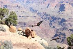 Rock Climbing Photo: more condors