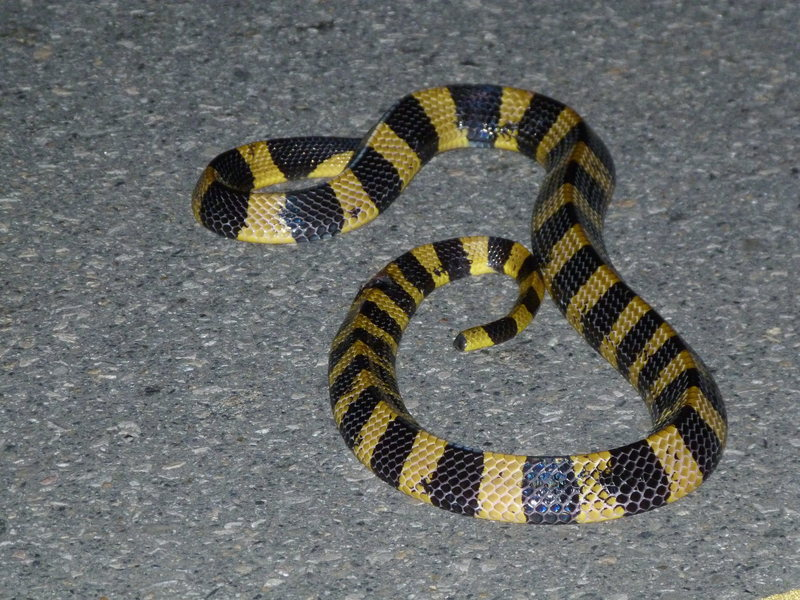This 8 foot, speedy and highly venomous guy was on the road until we messed with him.