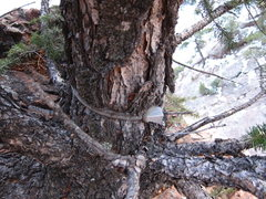 "Rock Climbing Photo: Bizarre ""fixed"" nut strangulating a tree..."