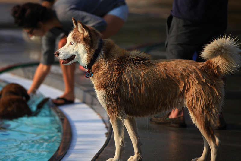 The one they call The Husky, Natasha Holliday, Esq., enjoying Dog Dayz at Scott Carpenter Pool.
