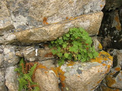 Rock Climbing Photo: Shown here is the rare Laramie Columbine that was ...
