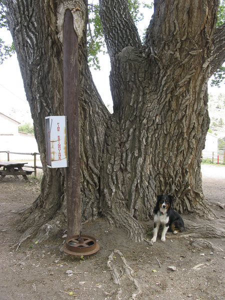 Wyoming's Oldest Tree at the Flying V Ranch