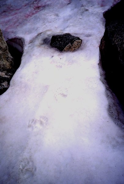 Grizzly paw prints on snow field, Wolfs Ears peak,