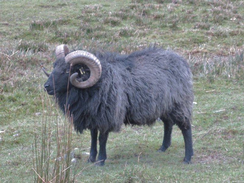 Local Ram .. Hairy Harry