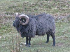 Rock Climbing Photo: Local Ram .. Hairy Harry