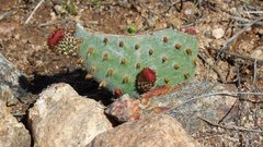 Rock Climbing Photo: The vandalized Opuntia sprouts new life. After bei...