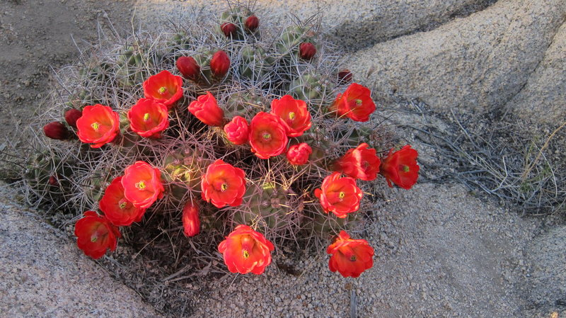 Flowering barrel cactus, HVCG