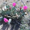 Beavertail Cactus (Opuntia basilaris) in bloom.