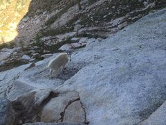 Rock Climbing Photo: Mountain goat at the base of the route. He drank m...