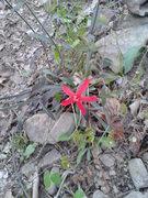 Rock Climbing Photo: Red flower.