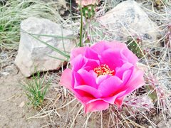 Rock Climbing Photo: Cactus flower in Late Bloomer area.