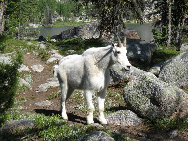 Rock Climbing Photo: Mountain Goat at Upper Cathedral Lake