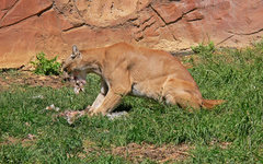 Rock Climbing Photo: mounain lion