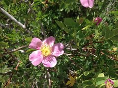 Rock Climbing Photo: Wild Rose (Rosa californica), Holcomb Valley Pinna...