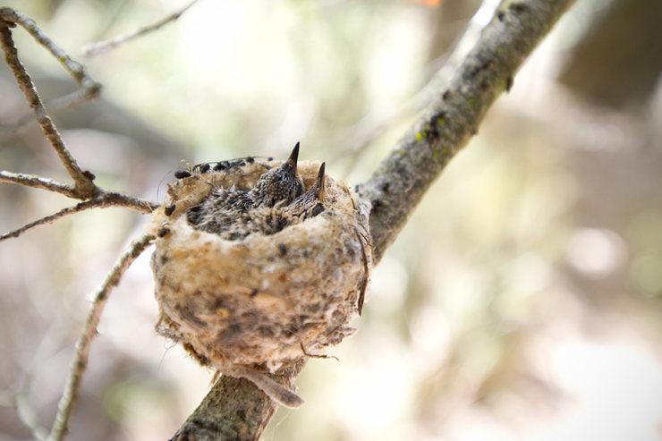 Anna's Hummingbird nest & chicks<br> www.EarthworksImagery.com