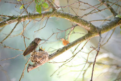 Rock Climbing Photo: Anna's Hummingbird nest & chicks earthworksimagery...