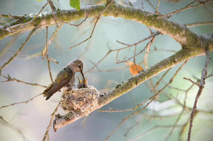 Anna's Hummingbird<br> www.EarthworksImagery.com