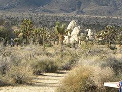 Rock Climbing Photo: The Joshua Trees...
