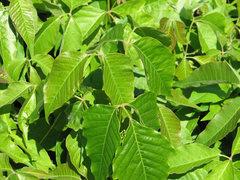 Rock Climbing Photo: Description  English: Poison Ivy (Toxicodendron r...