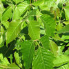 Description 	<br> English: Poison Ivy (Toxicodendron radicans), Ottawa, Ontario, Canada<br> Date 	6 June 2009<br> Source 	Own work<br> Author 	D. Gordon E. Robertson
