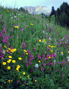 Rock Climbing Photo: Spring flowers on Pordoi Pass
