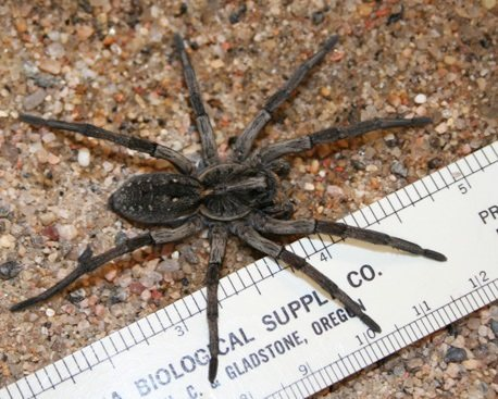 Rock Climbing Photo: Wolf Spiders like this one adorn the cliff, so dou...