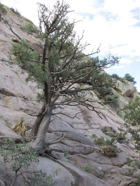 The tree at the start of Pitch 1.