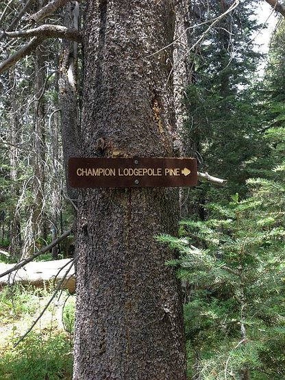 Champion Lodgepole Pine sign, Big Bear South