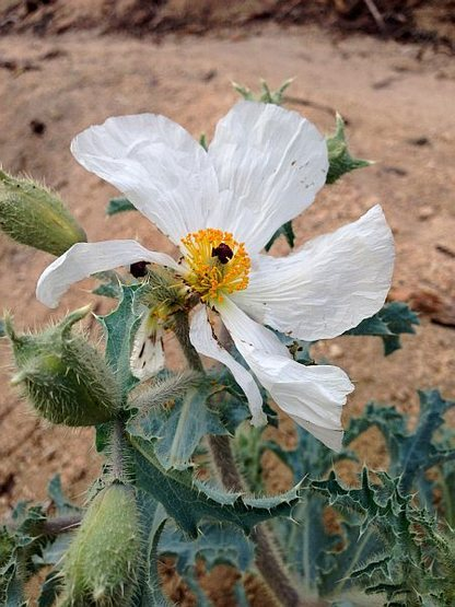 Prickly Poppy (Argemone munita), Big Bear South