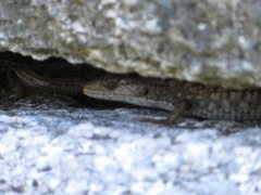 Rock Climbing Photo: On warm temperate days the locals come out to bask...