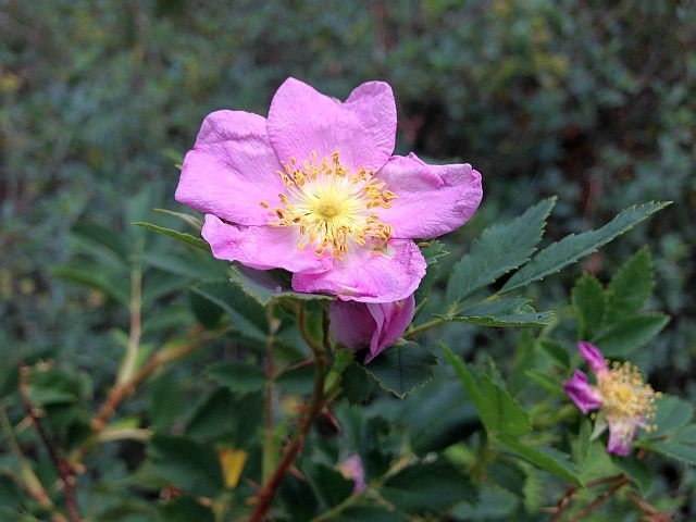 Wild Rose (Rosa californica), Big Bear South