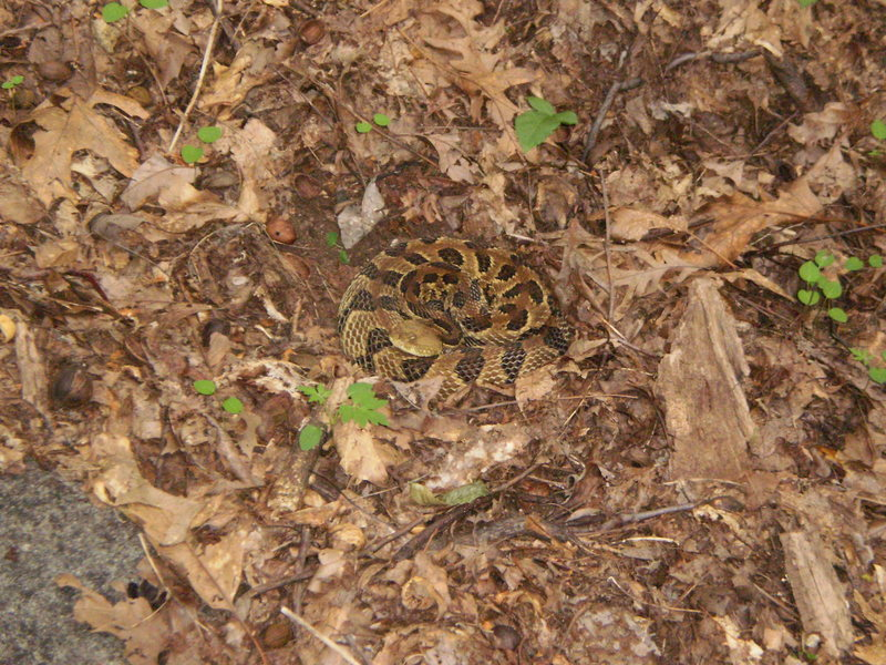 Timber Rattler at the Bald in the summer.