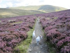 Rock Climbing Photo: Trail back south . Heather in bloom Aug 23rd