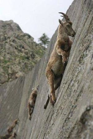 Goats Free Soloing