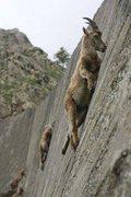 Rock Climbing Photo: Goats Free Soloing