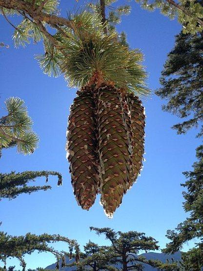 Sugar Pine (Pinus lambertiana), Black Mountain