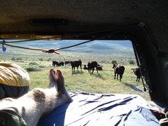 Rock Climbing Photo: Cows